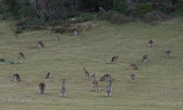 Tidbinbilla Park - Kangaroos
