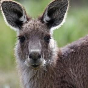 Суд отсрочил отстрел кенгуру в Канберре