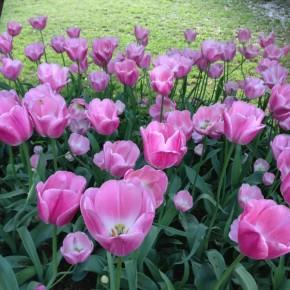 Поездка на ферму тюльпанов