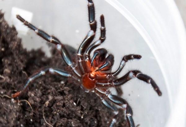 Sydney_funnelweb_spider