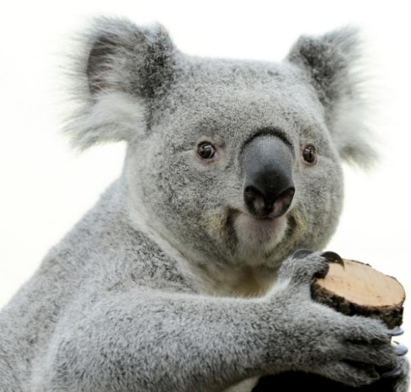 koala-fakt
