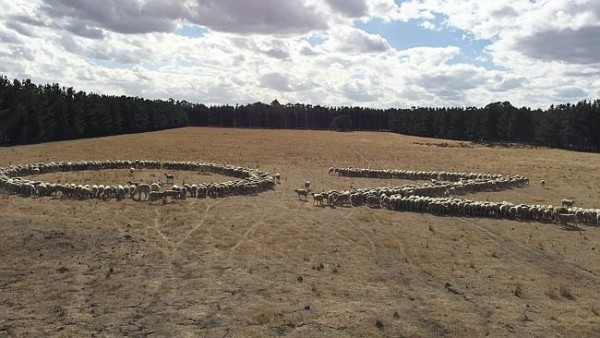 Sheeps AU