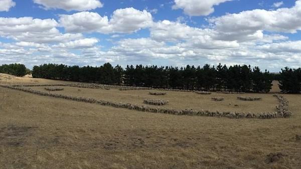 Sheeps au 2