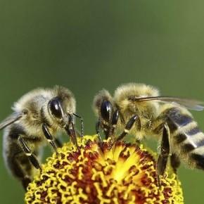 Новые правила для канберрских пчеловодов