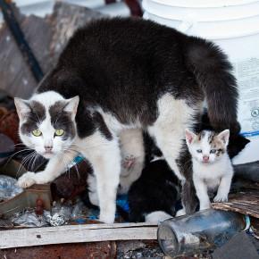 В Австралии приняли решение истреблять одичавших кошек