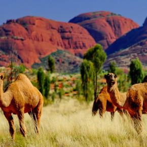 Дикие верблюды Австралии