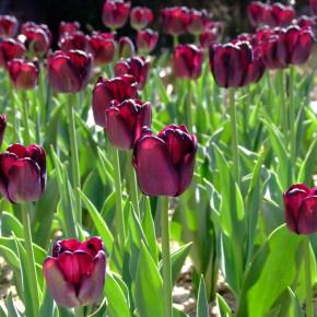 Тюльпановые сады -  2015