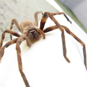 Нашествие пауков в Сиднее
